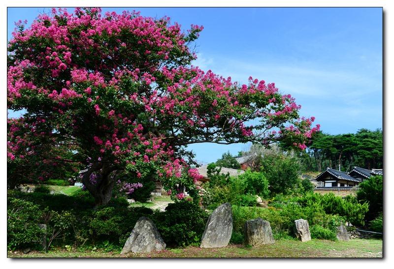 배롱나무가 있는 풍경1.jpg