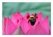 연꽃과 호박벌.jpg