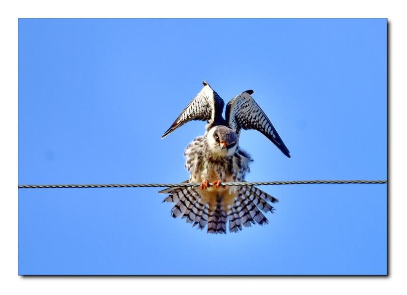 비둘기 조롱이.jpg