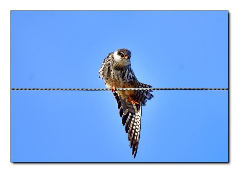 비둘기조롱이.jpg